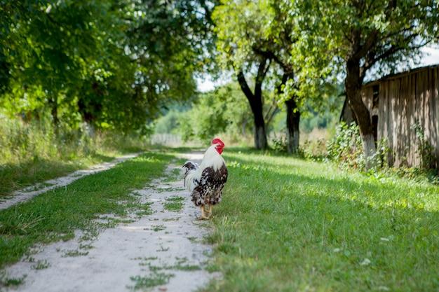 Kleurrijke haan op het landbouwbedrijf, mooie hanen die op de straat, het concept van dorpseco lopen