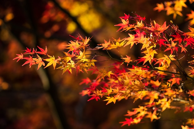 Kleurrijke herfst esdoorn blad achtergrond