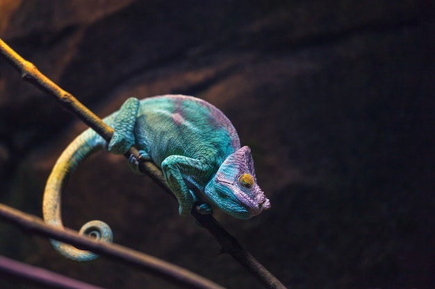 Kleurrijke kameleon turkooise kleurenslaap op een tak.
