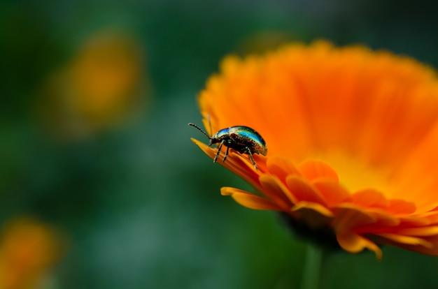 Kleurrijke kever zittend op een mooie oranje bloem