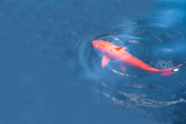 Kleurrijke koi-vissen die in een vijver in tuin zwemmen