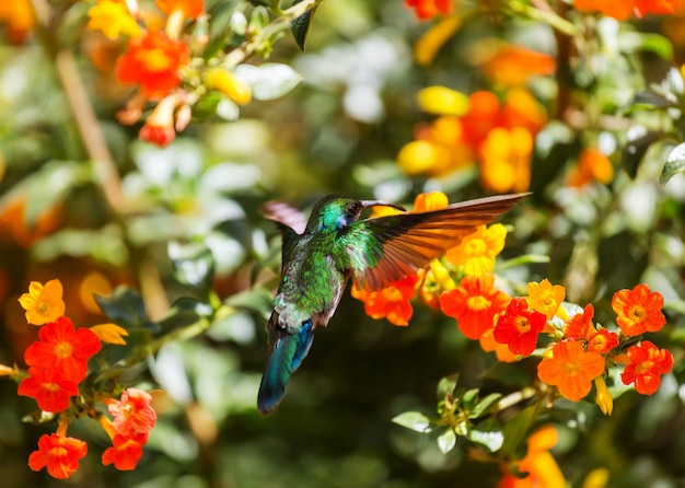 Kleurrijke kolibrie in costa rica, midden-amerika