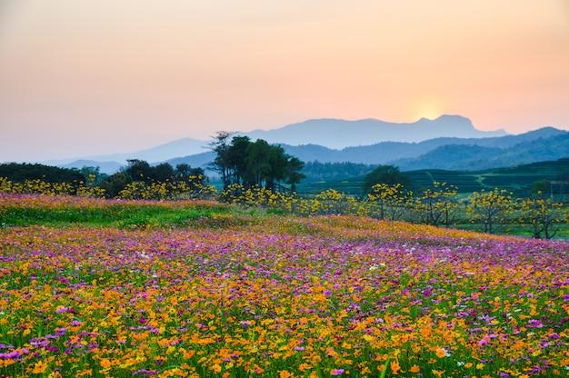 Kleurrijke kosmosbloem die op heuvel bloeien