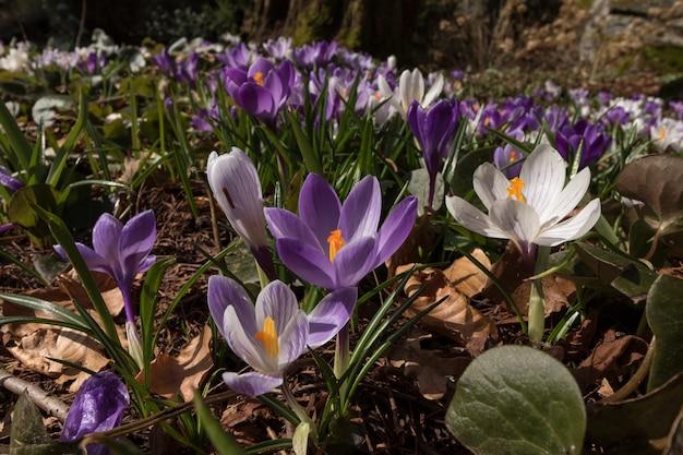 Kleurrijke krokus op een weide in de lente, noorwegen