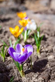 Kleurrijke krokusbloemen op de de lente zonnige dag