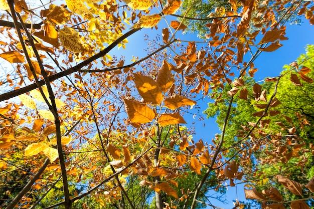 Kleurrijke loofbomen in de bosherfst, het gebladerte van bomen verandert van kleur tijdens bladval