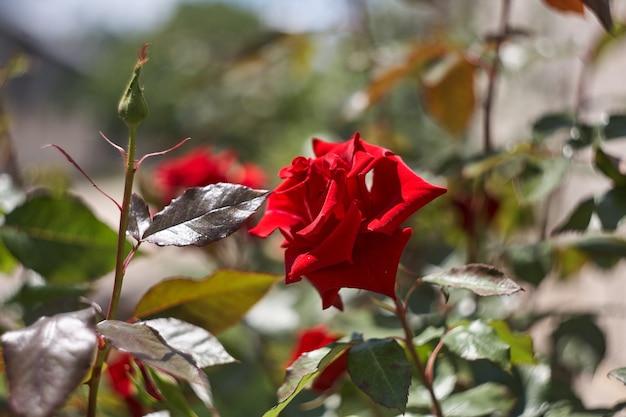 Kleurrijke mooie delicate roos in de tuin