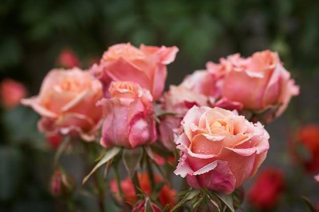 Kleurrijke, mooie, delicate roos met druppels in de tuin