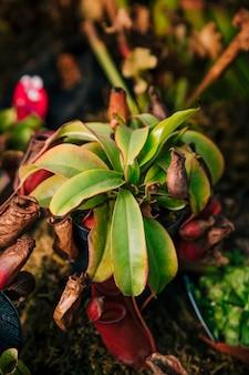 Kleurrijke nepenthes of aapkop die van de pot met aard onscherpe achtergrond hangen