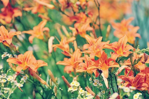 Kleurrijke oppervlakte van bloeiende redwithorange lelies