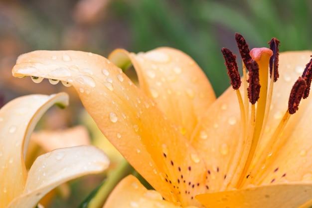 Kleurrijke oranje lelie