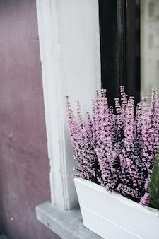 Kleurrijke paarse bloemen in bloempot voor het raam