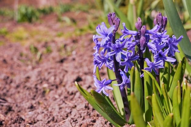 Kleurrijke paarse en lila hyacintbloemen bloeien in de nederlandse lentetuin. eerste zonlicht gloeiende prachtige hyacintbloemen in het park. prachtige lentetafereel