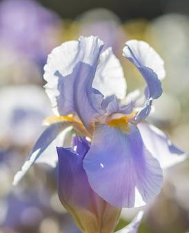 Kleurrijke paarse irissen