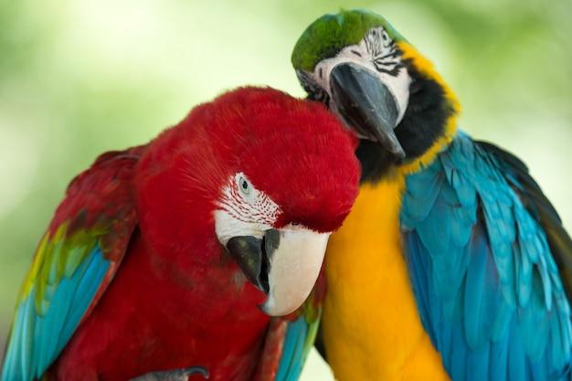Kleurrijke papegaaien paar