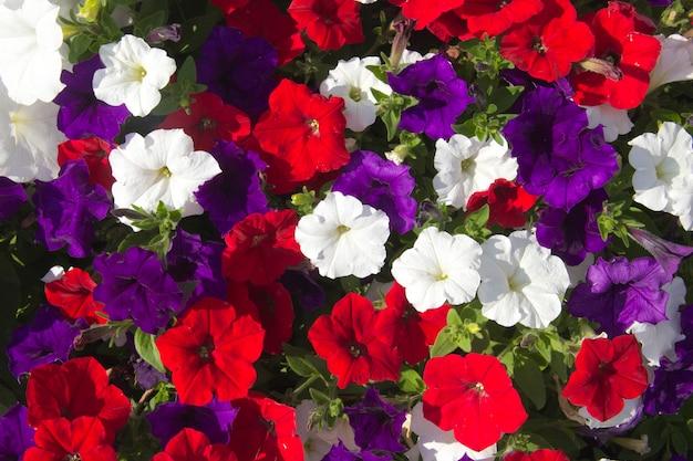 Kleurrijke petunia close-up achtergrond van veelkleurige bloemen
