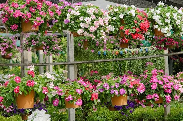 Kleurrijke petunia hangende manden voor verkoop in bloemwinkel
