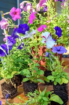 Kleurrijke petunia-zaailingen worden voorbereid om op een houten tafel te worden geplant. close-upfoto met selectieve soft focus