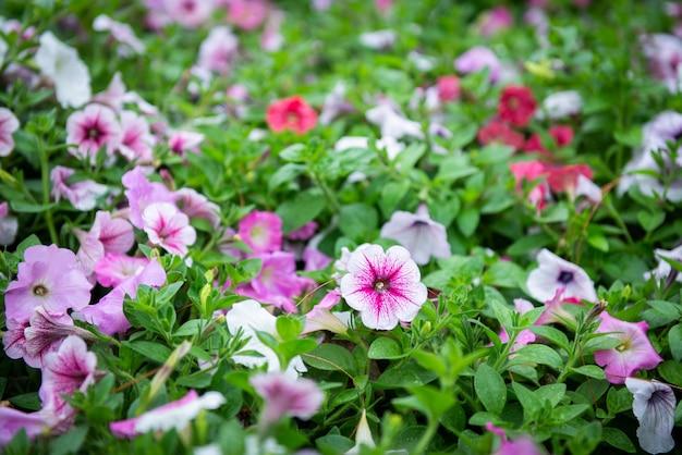 Kleurrijke petuniabloem in tuin