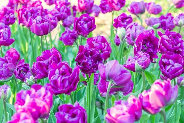 Kleurrijke purpere van tulpen verse bloemen dichte omhooggaand als achtergrond