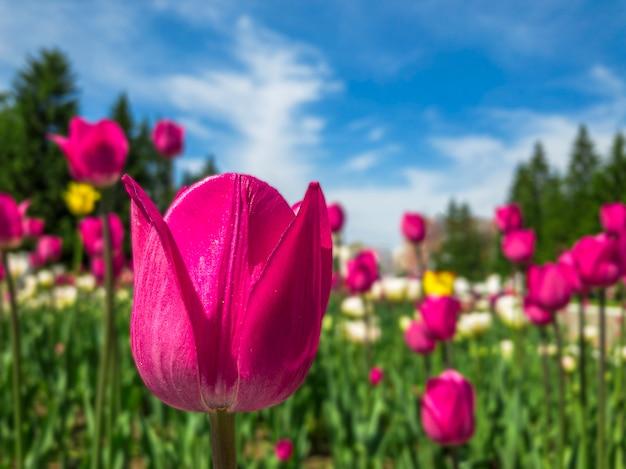 Kleurrijke roze tulp bloemen op een bloembed in het stadspark.