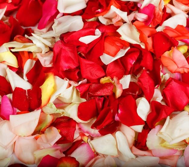 Kleurrijke rozenblaadjes achtergrond close-up