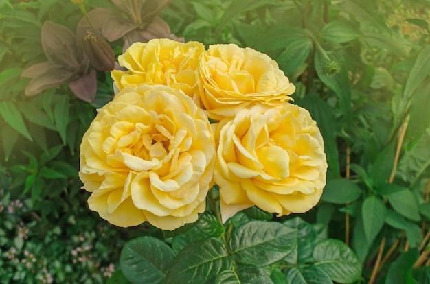 Kleurrijke rozenbloem. mooie struik van gele rozen