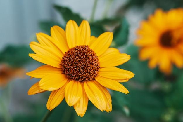 Kleurrijke sappige gele bloem met oranje centrum en levendige aangename zuivere bloemblaadjes