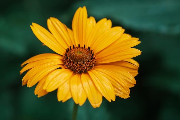 Kleurrijke sappige gele bloem