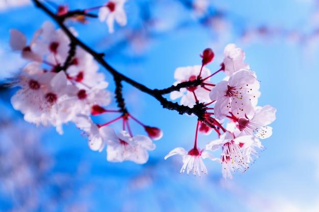 Kleurrijke scène van tedere sakurabloesem tegen blauwe hemel