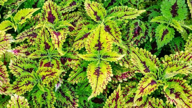 Kleurrijke siernetel plant in een tuin.