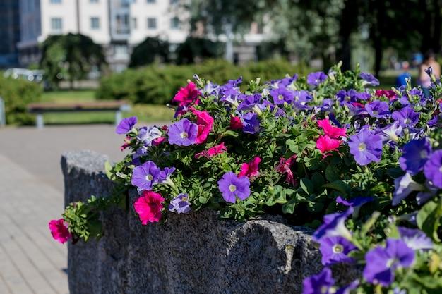 Kleurrijke stedelijke straat bloembed met gemengde viooltjes, petunia's, goudsbloemen en andere bloemen in bloei voegt kleur toe aan het landschap van de stadstuin in de late winter en lente. bloeiende roze en paarse petunia