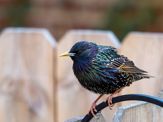Kleurrijke ster sprankelende vogel zat op zwart metaal op een houten hek
