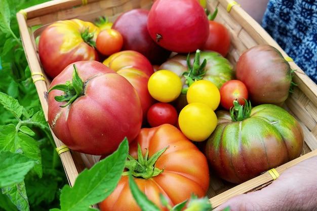 Kleurrijke tomaten van verschillende groottes en soorten in de tuin