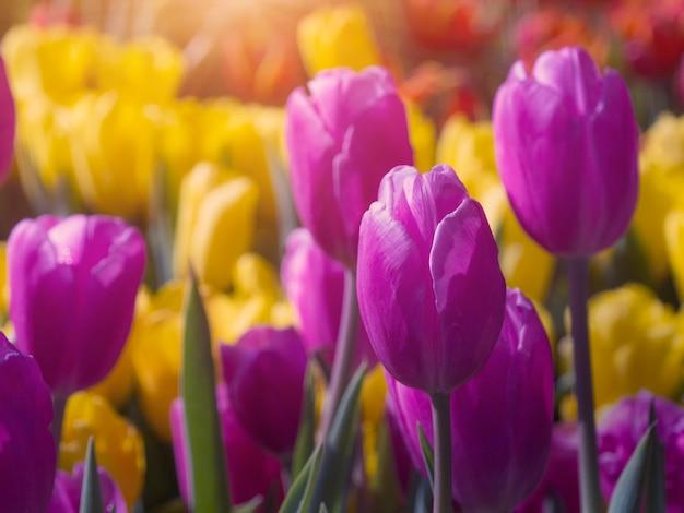 Kleurrijke tulp in de tuin met zonnevlam