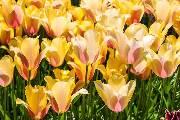 Kleurrijke tulpen close-up in keukenhof bloementuin, lisse, nederland, holland