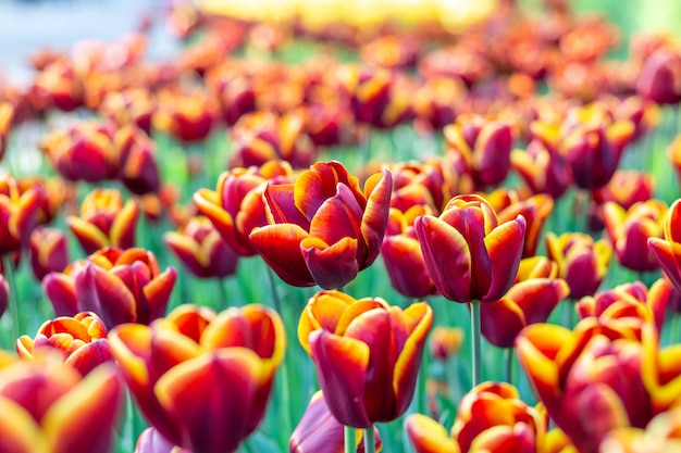 Kleurrijke van tulpen verse bloemen dichte omhooggaand als achtergrond