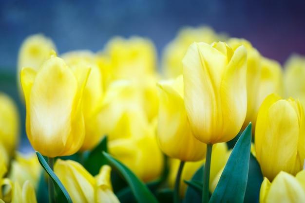 Kleurrijke verse gele tulpen in de binnenbloementuin met waterdalingen