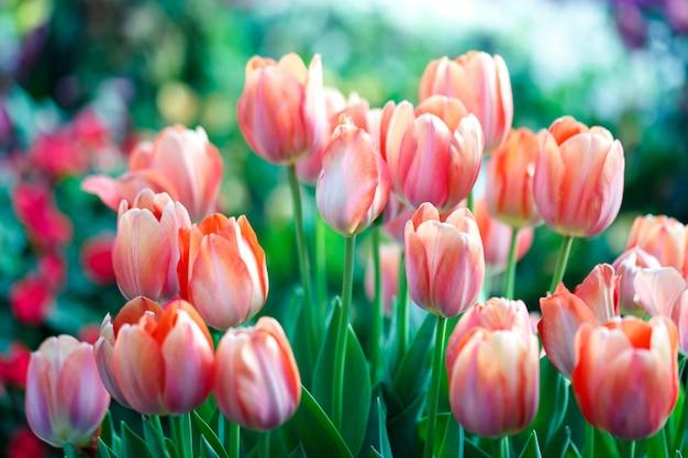 Kleurrijke verse tulpen in de binnenbloementuin met waterdalingen