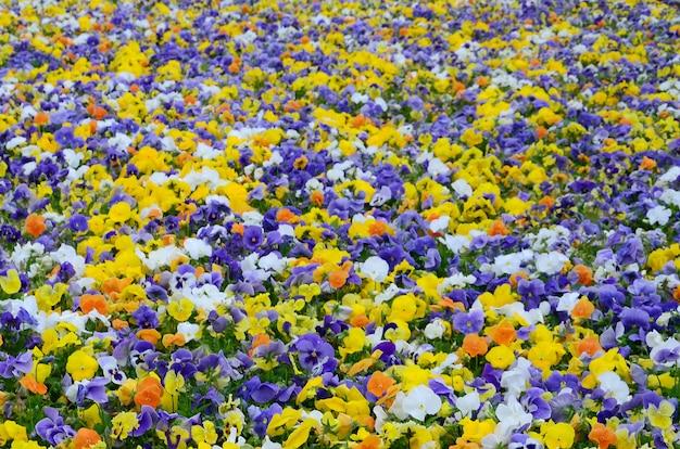 Kleurrijke viooltje bloemen veld