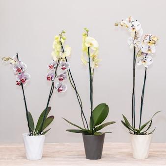 Kleurrijke vlinder orchideeën, phalaenopsis