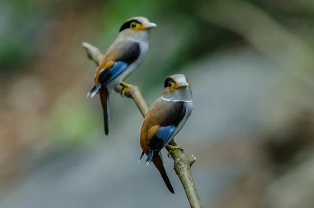 Kleurrijke vogel silver breasted broadbil