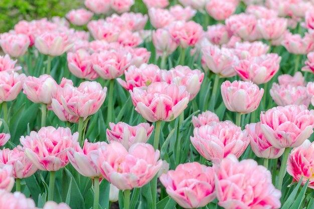 Kleurrijke zachte roze van tulpen verse bloemen dichte omhooggaand als achtergrond