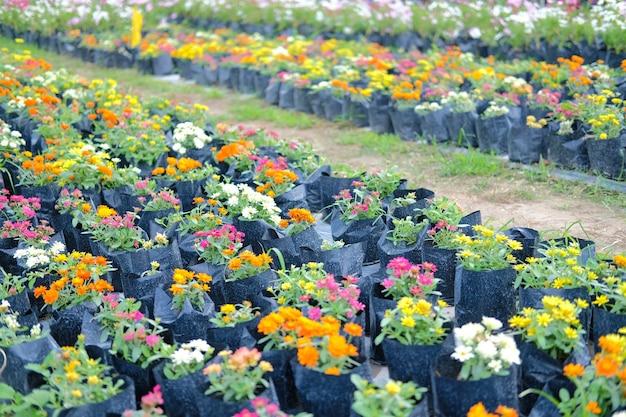 Kleurrijke zinnia bloem in het groeien in flora boerderij. bloemen planten teelt