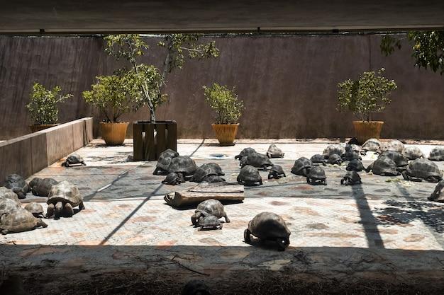 Kleuterschool voor schildpadden dipsochelys gigantea in een tropisch park op het eiland mauritius in de indische oceaan