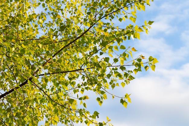 Kleverige lindeboom tijdens het begin van de groei van de bladeren in de lente en bloei