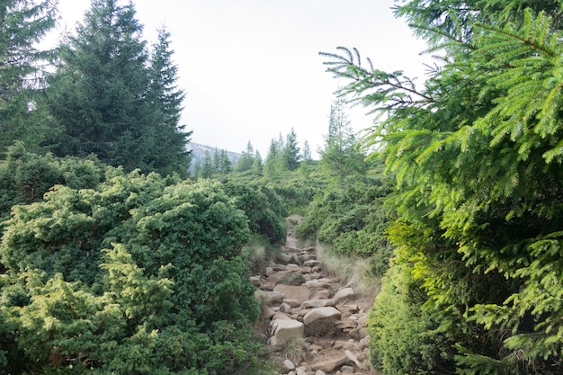 Klim naar hoverla. bergpad in het struikgewas van coniferen.