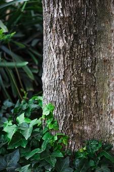 Klimop die dichtbij boomboomstam groeit