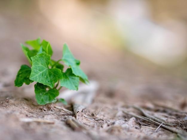 Klimoppompoenwijnstok die van nature op de grond voorkomt.