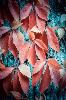 Klimplant met rode bladeren op een boomschors blauw filter